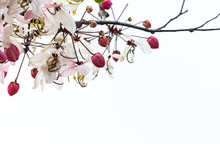 Cassia Bakeriana In Thailand D...