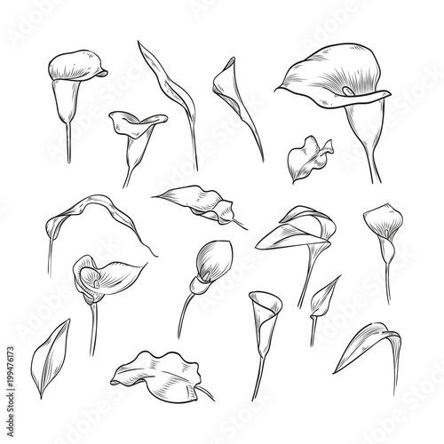 Fotografie, Obraz  Vector hand drawn elegant callas