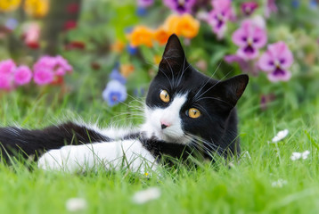 A black-white cat, European Shorthair, lying in a meadow with colorful flowers