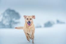 Golden Labrador In The Snow