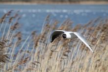 Flying Black-headed Gull (Chro...