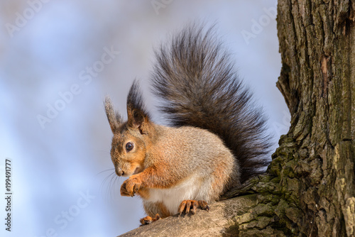 Deurstickers Eekhoorn Red eurasian squirrel