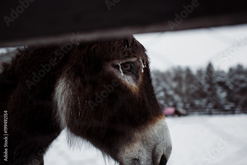 Staande foto Ezel Close-up of donkey at farm during winter