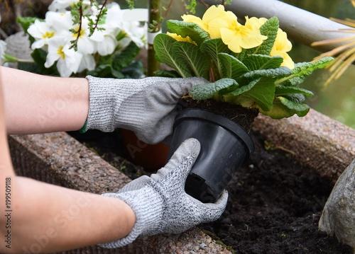 Obraz na plátně Gartenarbeit - umpflanzen / einsetzen von Blumen in Blumenerde