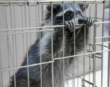 Raccoon Sitting In A Cage
