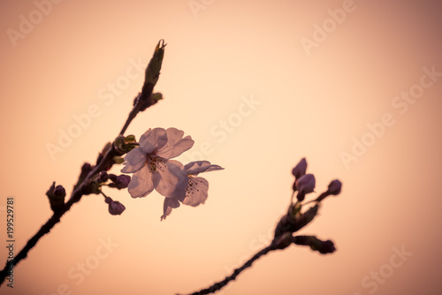 Photo  夕日と桜