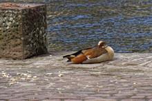 Sleepy Egyptian Goose In Wildl...