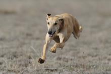 Greyhound Run In Field