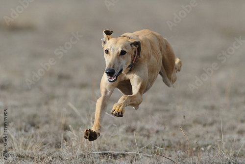 greyhound run in field