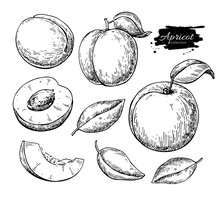Apricot Vector Drawing. Hand D...