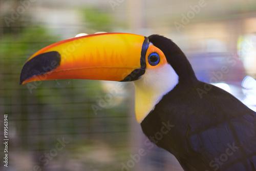 Foto op Canvas Toekan A toucan in steel cage.