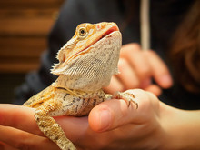 Pogona (or Bearded Dragon) On The Hands Close-up