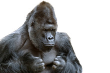 Portrait Of A Grumpy Gorilla Isolate