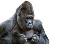 Portrait Of A Grumpy Gorilla I...