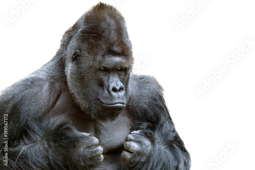 Portrait of a grumpy gorilla isolate Canvas Print