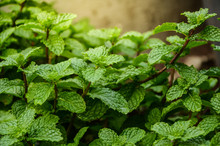 Mint Leaves Background Leaf Gr...