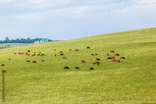 Poster de jardin Vache Cattle Farming Animals Scattered Hills Summer Landscape.