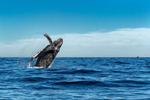 Humpback Whale While Jumping B...