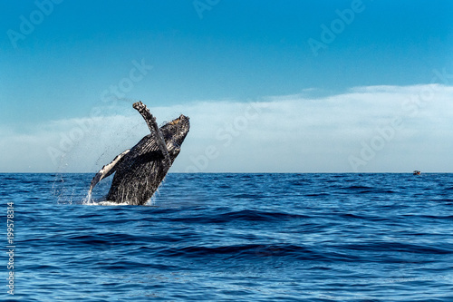 humpback whale while jumping breaching
