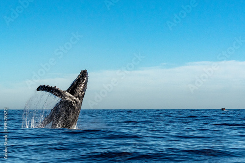 Valokuva humpback whale while jumping breaching