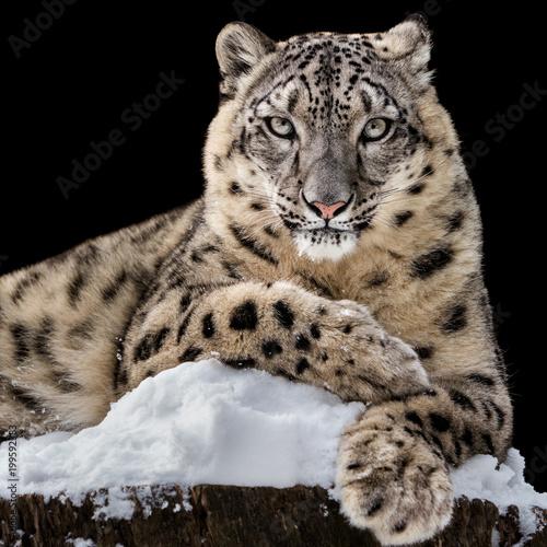 Plakat Leżak Snow Leopard IV
