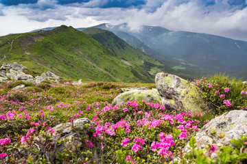 Fototapeta Góry Blossoming pink rhododendron in the mountains, flowering valley on top of the ridge in Carpathian