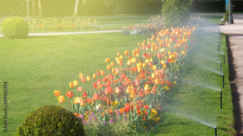 Obraz Smart garden automatic sprinkler irrigation system working early in the morning in green park - watering lawn and colourful flowers tulips narcissus and other types of spring flowers - fototapety do salonu