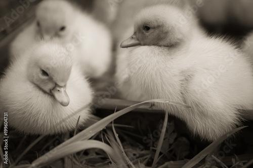 portrait of cute little baby fluffy muscovy ducklings close