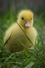 Portrait Of Cute Little Yellow...