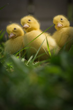 Three Cute Yellow Fluffy Duckl...