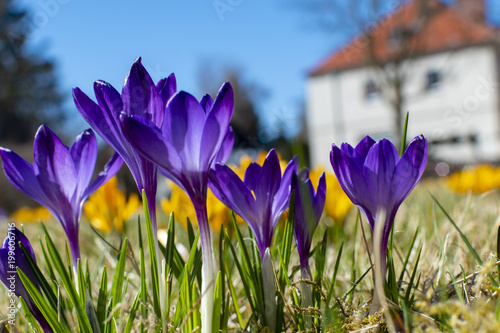 Purple and yellow blossoms of crocuses (Colchicum autumnale) on a meadow in the sunshine in front of a blurred house.