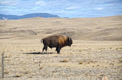 Foto op Canvas Bison One Bison