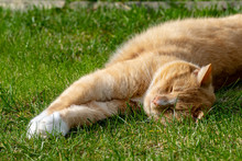 Domestic Ginger Cat Stretched On Grass Lawn
