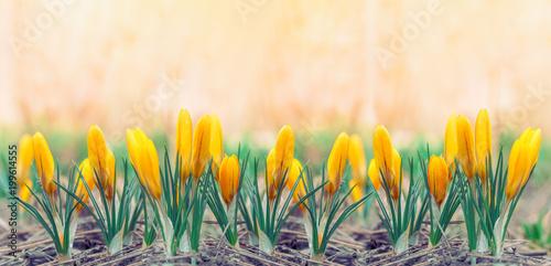 Beautiful Early Spring Yellow Flowers Crocuses Panoramic Photo