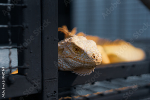 Valokuva  Albino Iguana is in a steel cage.