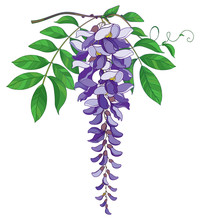 Vector Branch Of Outline Wisteria Or Wistaria Flower Bunch In Pastel Purple, Bud And Green Leaf Isolated On White Background. Blossoming Ornamental Plant Wisteria In Contour Style For Spring Design.