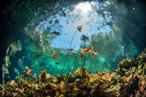 Diving in the Cenote Nicte Ha in Yucatan, Mexico