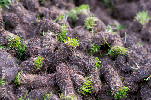 Fotografie, Tablou Plugs of soil removed from golf course