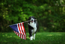 Happy Border Collie Carrying U...