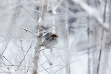 Sparrow In Snowy Bush At Cloudy Winter Day