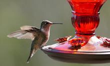 A Small Hummingbird Getting Re...