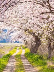 Fototapetacherry blossoms in Japan