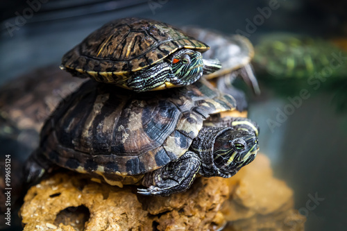 Poster Tortue Close-up of a two black tortoise or Testudines crawling along an artificial green grass in a room