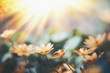 canvas print picture Yellow little flowers at sunset light, wild outdoor nature background