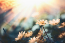 Beautiful Nature Background With Wild Yellow Flowers And Sun Rays