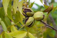 Pecan Nuts In The Organic Gard...