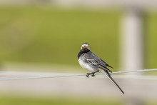 Wagtail With Its Beak Full Of Insects Sitting On A Wire