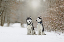 Two Beautiful Siberian Husky O...