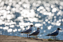 Three Seagulls Resting At The Shore Next To The Blue Waters Of Lake Pamvotida, Close To The Old Small Greek Town Of Ioannina, Greece. Blurred Blue Water Background With Beautiful Bright Bokeh