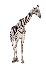 żyrafa ilustracja, zebra-hybrydowy, białe tło